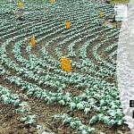 Brócoli, el monocultivo que juega con el agua